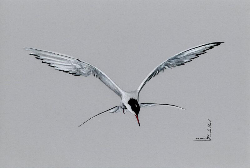 Tern in flight – mixed media