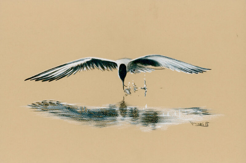 Tern fishing over the water – pencils