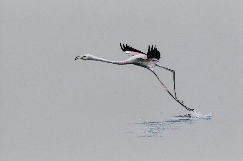 Flamingo – colored pencils