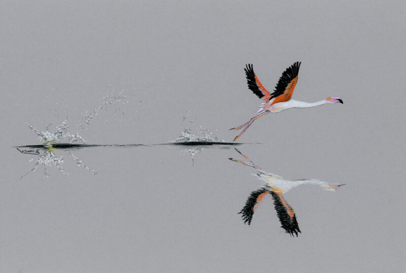 Flamingo taking off – colored pencils