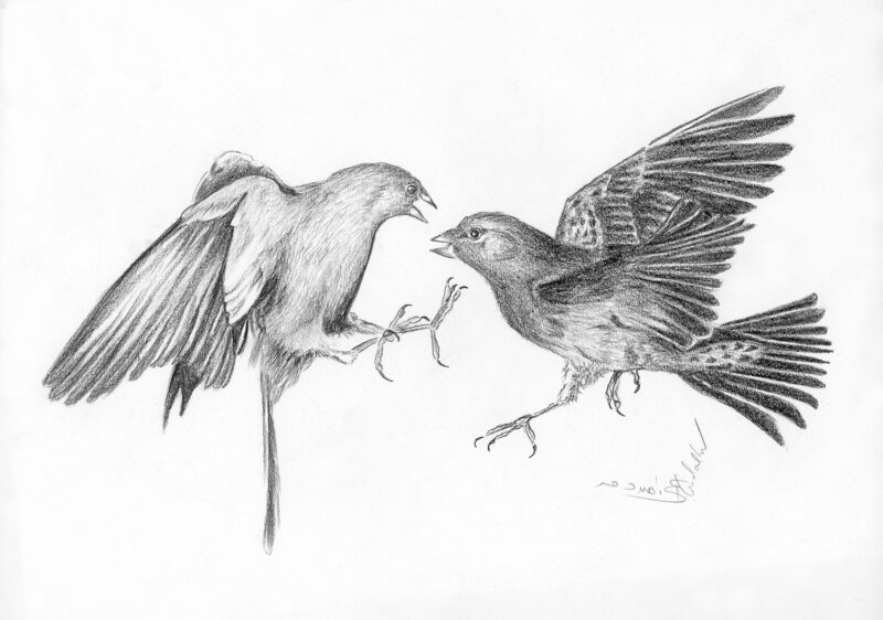Fighting birds – black pencil