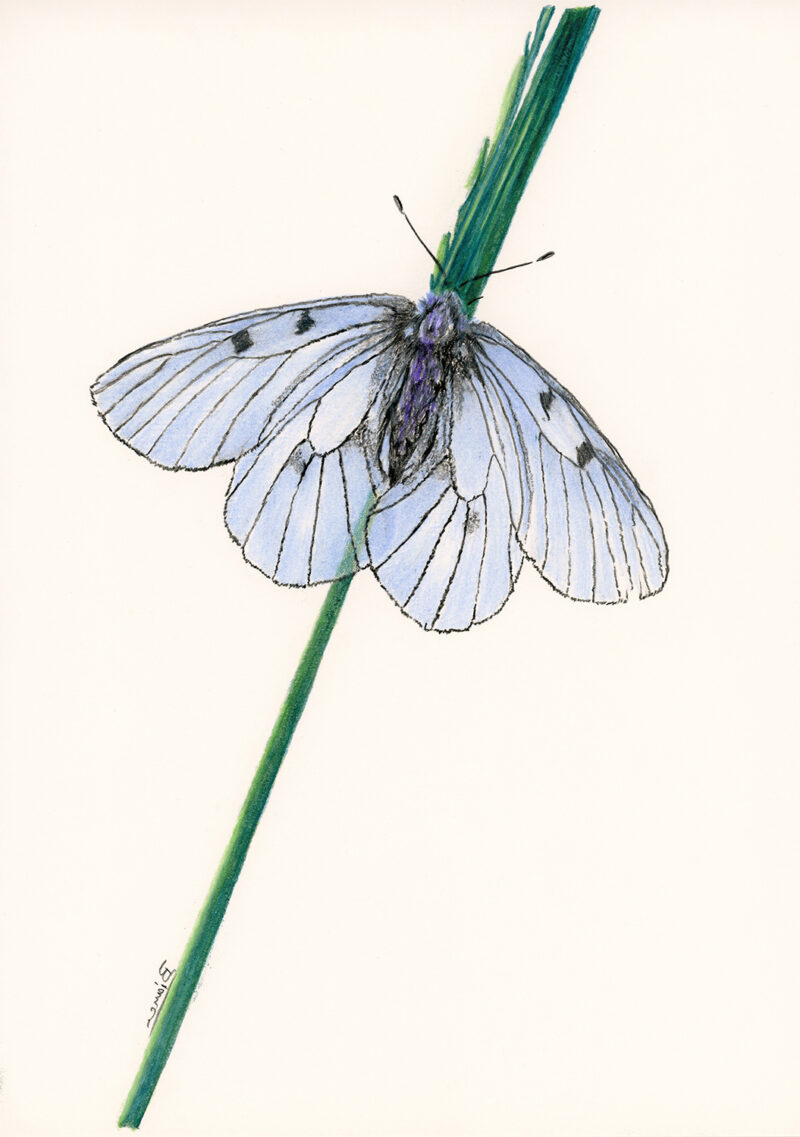 Butterfly – colored pencils