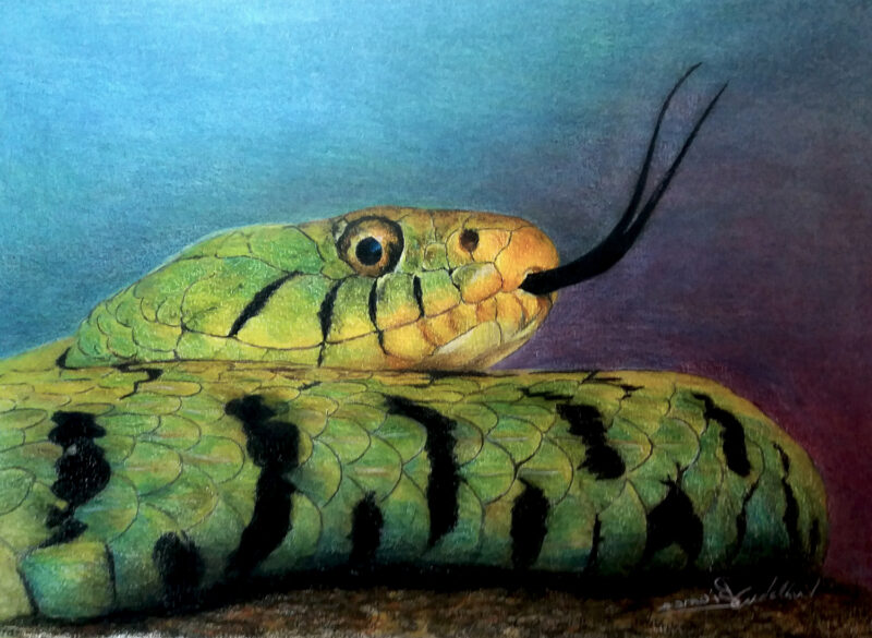 Snake – colored pencils