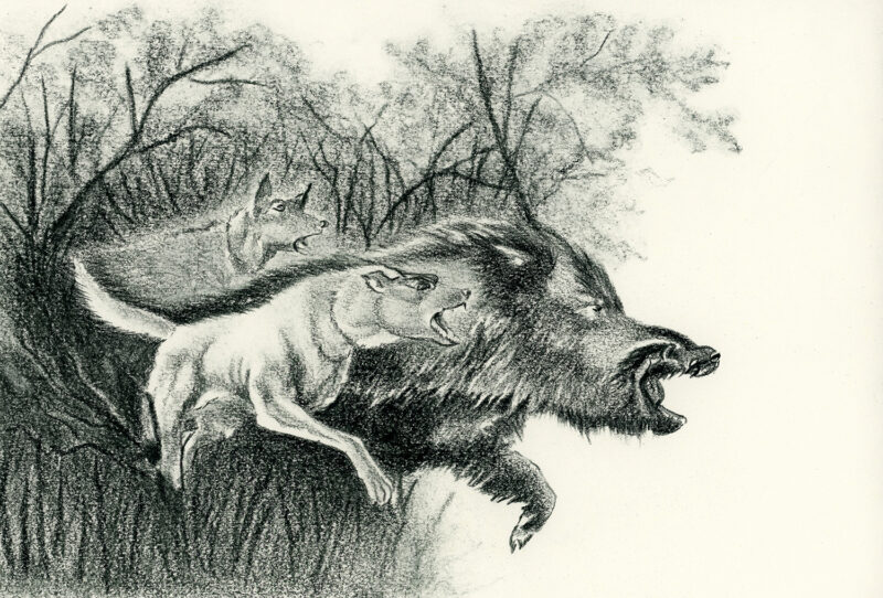 Wild boar and dogs – pitt pencil