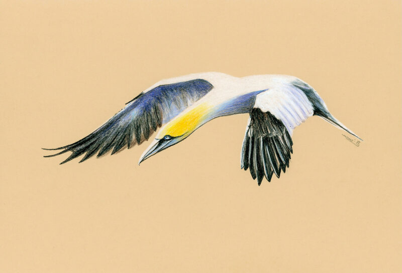 Northern gannet – colored pencils