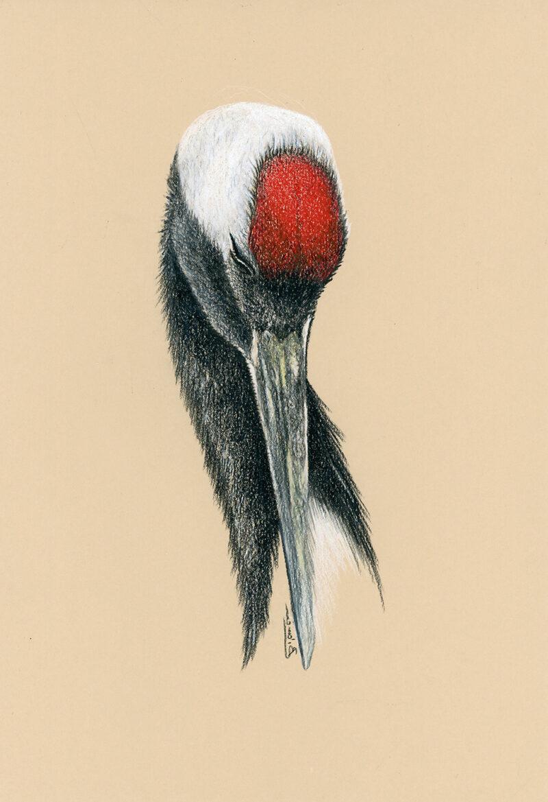 Grus japonensis portrait – colored pencils