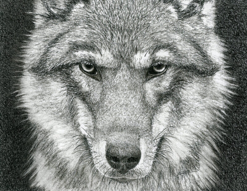 Wolf – charcoal