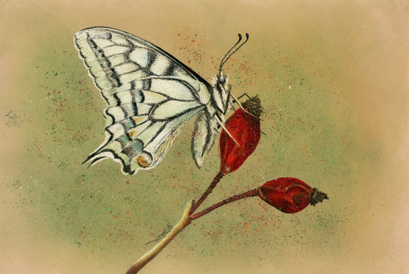 Papilio machaon – mixed media
