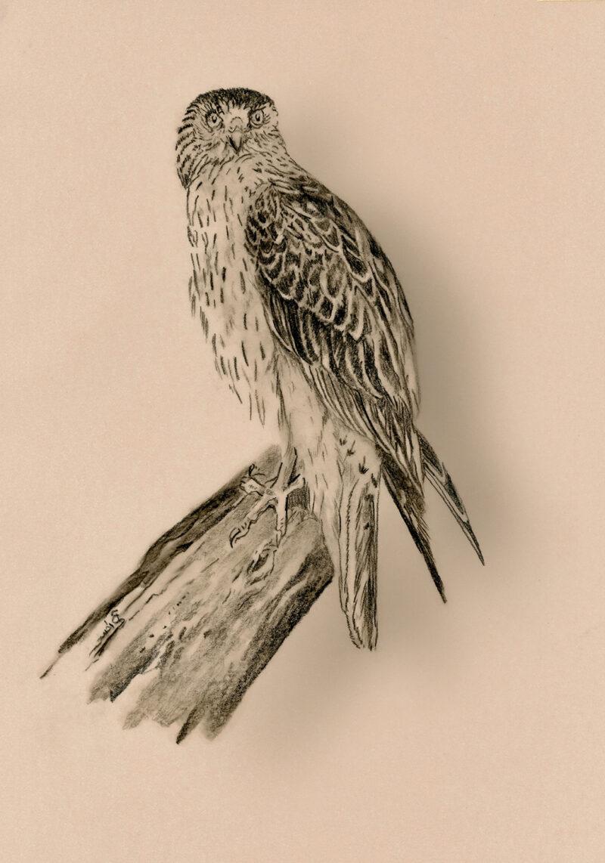 Bird of prey on cappuccino paper – pitt pencil
