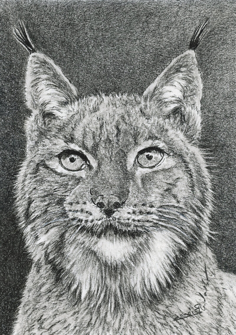 Eurasian lynx – charcoal