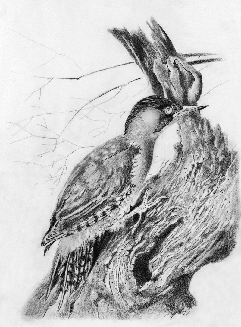 Green Woodpecker – pitt pencil