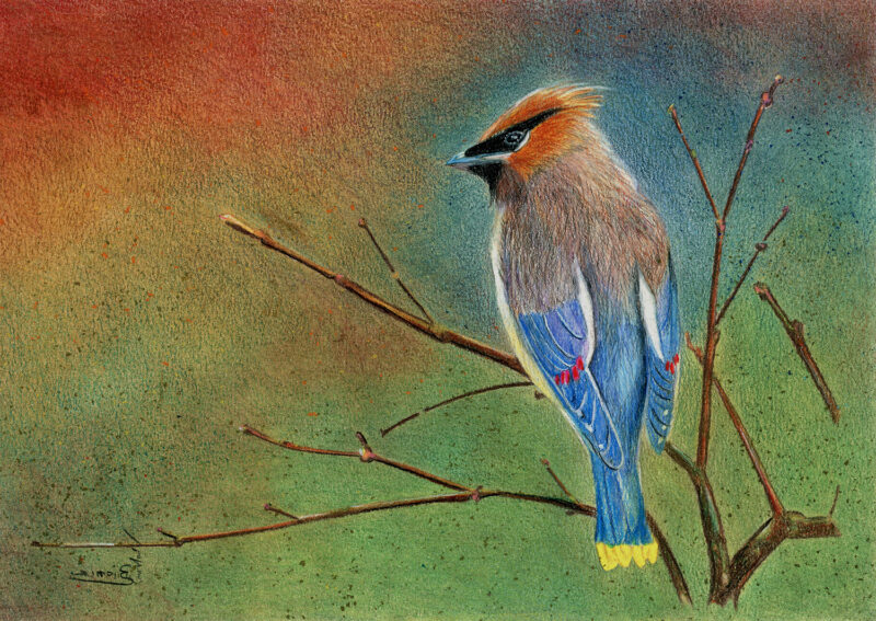 Waxwing – colored pencils