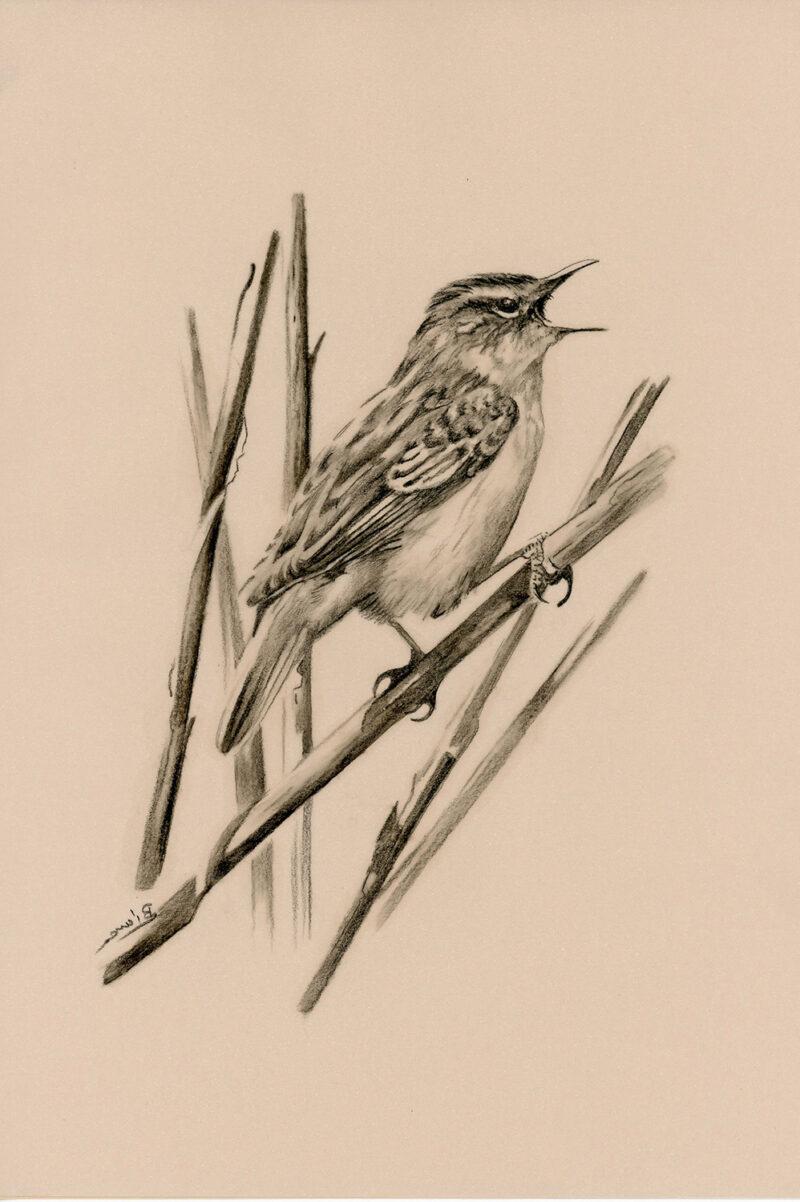Acrocephalus schoenobaenus – pitt pencil