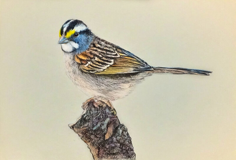 White-throated sparrow – colored pencils