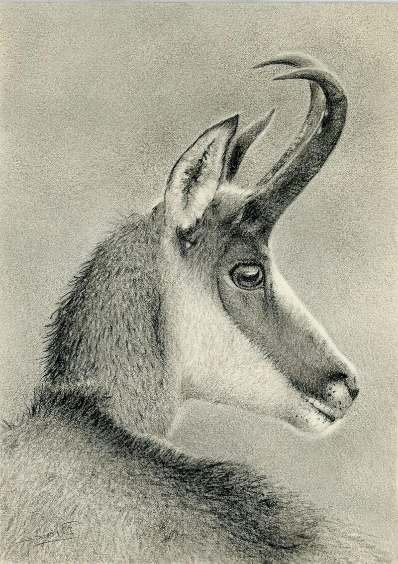 Rupicapra rupicapra – pitt pencil
