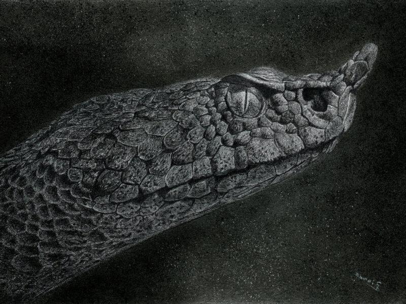 Vipera Ammodytes – charcoal